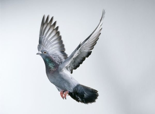 Ranchers Supply sells Pigeon Feed