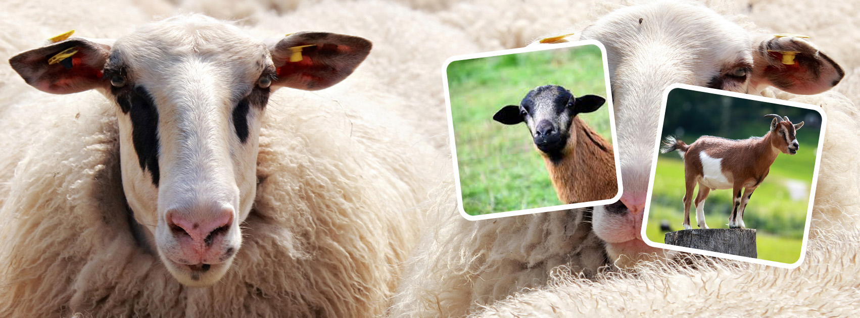 Sheep and Goad Feed and Supply